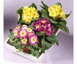 4'' Primrose, Tulip, Daffodil or Hyacinth Plants