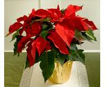 Classic 8'' Poinsettia Plant