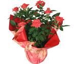 "Seasonal 6"" Minirose Plant"