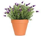 Perennial Lavender Plants