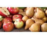Fresh NYS Grown Tote Apples or Pears