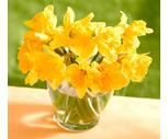 Seasonal 10-Stem Daffodil Bunches
