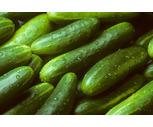 Fresh Northeast Grown Cucumbers