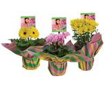 """Assorted """"Renew"""" or """"Urban Garden"""" 6'' Blooming Plants"""