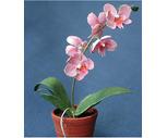 4'' Phalaenopsis Orchid