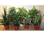 6'' Foliage Plants